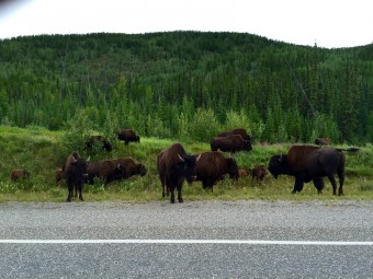 A herd of bison along the road. They have the right-of-way when push comes to shove.
