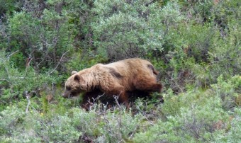 A brown bear looking for berries...or a lone hiker!