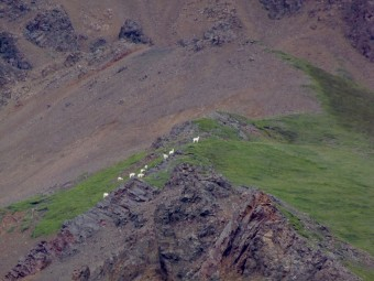 This is about the closest you'll get to Dall Sheep.