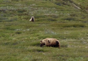 A mother brown bear and one of her cubs.